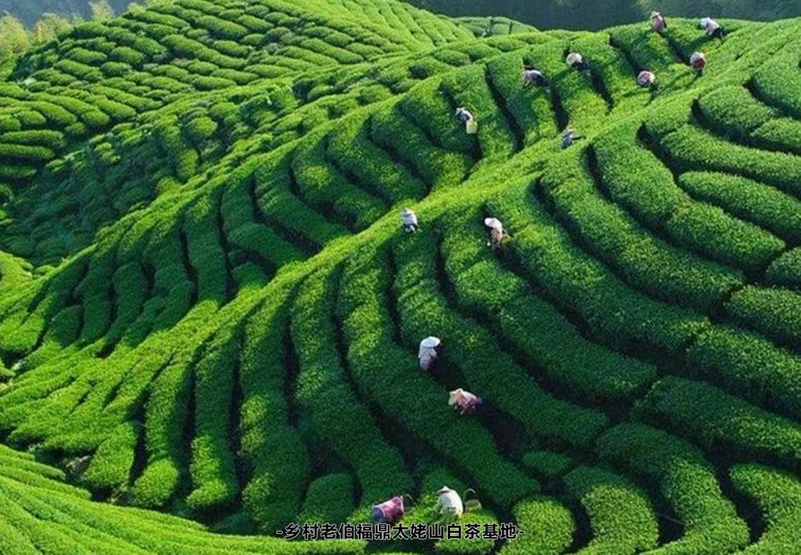 乡村老伯——以福鼎白茶为基础,以茶客需求为宗旨,打造高性价比好茶